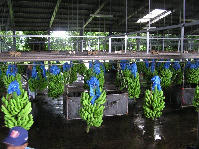 Banány na export